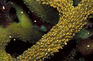 Staghorn coral (Acropora cervicornis) spawning at night in late summer, showing the onset of the release of bundles of eggs and sperm, when most of the bundles are still set in the polyps and just a f...  -  Alex Mustard