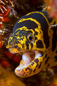 RF- Chain moray eel (Echidna catenata) portrait with mouth open. East End, Grand Cayman, Cayman Islands, British West Indies. Caribbean Sea. (This image may be licensed either as rights managed or roy...  -  Alex Mustard