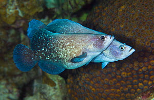 Greater soapfish (Rypticus saponaceus) male behind with female in front, who is swollen with eggs, Georgetown, Grand Cayman, Cayman Islands, British West Indies, Caribbean Sea.  -  Alex Mustard