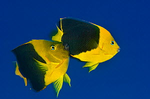 Rock beauty (Holacanthus tricolor) pair spawning, with the male rubbing against the flank of the female during the spawning rise, Georgetown, Grand Cayman, Cayman Islands, British West Indies, Caribbe...  -  Alex Mustard