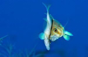 Barred hamlet (Hypoplectrus puella) pair spawning at dusk (long exposure used to produce blue background) George Town, Grand Cayman, Cayman Islands, British West Indies, Caribbean Sea.  -  Alex Mustard