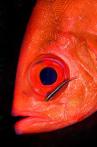 Glasseye snapper (Heteropriacanthus cruentatus) head portrait with a cleaning Goby (Gobiosoma genie) East End, Grand Cayman, Cayman Islands, British West Indies, Caribbean Sea. - Alex Mustard