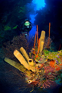 A diver exploring a coral reef with formation of brown tube sponges (Agelas conifera) red rope sponges (Amphimedon compressa) and deepwater sea fans (Iciligorgia nodulifera) East End, Grand Cayman, Ca... - Alex Mustard