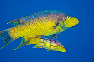 Spanish hogfish (Bodianus rufus) pair come together to mate at sunset, the larger male courting the female, enticing her away from the reef and into open water to spawn, West Bay, Grand Cayman, Cayman...  -  Alex Mustard