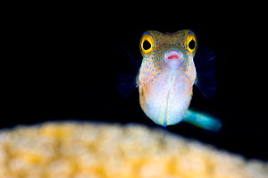 Sharpnose puffer (Canthigaster rostrata) portrait with the eyes standing out against a dark background, East End, Grand Cayman, Cayman Island, British West Indies, Caribbean Sea. - Alex Mustard