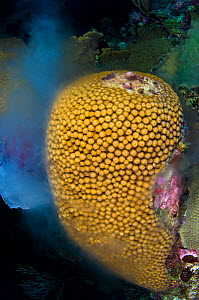 Great star coral (Montastrea cavernosa) male releasing clouds of sperm into the water column, during its synchronised annual spawning event, several hours after sunset in late summer, East End, Grand...  -  Alex Mustard