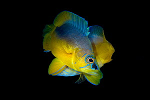 Yellowbelly hamlet (Hypoplectrus aberrans) pair spawning at dusk with the fish in the foreground acting as male which may be a Shy/yellowbelly hamlet hybrid, George Town, Grand Cayman, Cayman Islands,...  -  Alex Mustard