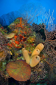 Coral reef outcrop with brown tube sponges (Agelas conifera) deepwater sea fans (Iciligorgia nodulifera) and knobby cactus coral (Mycetophyllia aliciae)  East End, Grand Cayman, Cayman Islands, Britis...  -  Alex Mustard