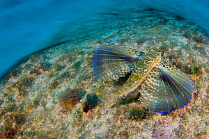 Flying gurnard (Dactylopterus volitans) swimming across the seabed displaying large open pectoral fins, Georgetown, Grand Cayman, Cayman Islands, British West Indies, Caribbean Sea. - Alex Mustard