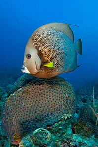 Grey angelfish (Pomacanthus arcuatus) swimming over a colony of great star coral (Montastrea cavernosa) Georgetown, Grand Cayman, Cayman Islands, British West Indies, Caribbean Sea.  -  Alex Mustard