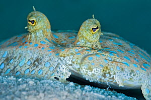 Peacock flounder (Bothus lunatus) resting on the seabed, East End, Grand Cayman, Cayman Islands, British West Indies, Caribbean Sea. - Alex Mustard