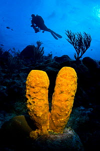 Yellow tube sponge (Aplysina fistularis) selectively illuminated with a diver swimming above, East End, Grand Cayman, Cayman Islands, British West Indies, Caribbean Sea.  -  Alex Mustard