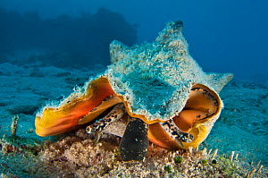 Queen conch (Strombus gigas) crawling over the seabed, East End, Grand Cayman, Cayman Islands, British West Indies, Caribbean Sea.  -  Alex Mustard