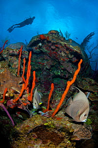 Grey angelfish (Pomacanthus arcuatus) pair browsing along the reef between red rope sponges (Aphimedon compressa) with diver above, East End, Grand Cayman, Cayman Islands, British West Indies, Caribbe...  -  Alex Mustard