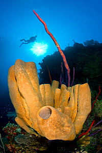 Brown tube sponges (Agelas conifera) formation on a reef wall, with sun shining through the water and diver above, East End, Grand Cayman, Cayman Islands, British West Indies, Caribbean Sea.  -  Alex Mustard