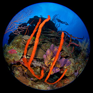 Circular fisheye photograph of a colourful coral reef with silhouetted diver, East End, Grand Cayman, Cayman Islands, British West Indies. Caribbean Sea. Model released  -  Alex Mustard