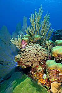 Mixed hard coral including finger coral (Porites porites) and soft corals growing on reef, Little Cayman, Cayman Islands, British West Indies, Caribbean Sea.  -  Alex Mustard