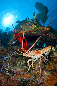 Caribbean spiny lobster (Panulirus argus) scampers across a coral reef amongst sponges, Bloody Bay Wall, Little Cayman, Cayman Islands. British West Indies, Caribbean Sea.  -  Alex Mustard
