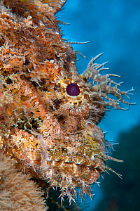 Spotted scorpionfish (Scorpaena plumieri) lying motionless and camouflaged in soft corals. West Palm Beach, Gulf Stream, West Atlantic Ocean, Florida, USA.  -  Alex Mustard