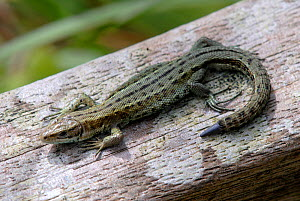 Adult common Lizard (Lacerta muralis) with new tail growth after shedding tail (autonomy). Dorset, UK, August.  -  Colin Varndell