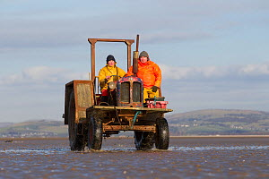 Cockle fishermen working in Morecambe Bay, Cumbria, England, UK, February. Model released. - Peter Cairns / 2020VISION