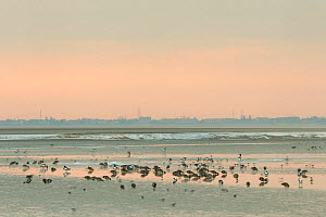 Mixed flock of Shelduck (Tadorna tadorna), Pintail duck (Anas acuta) and small waders feeding on mudflats, with town in background, Morecambe Bay, Cumbria, England, UK, February - Peter Cairns / 2020VISION
