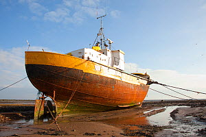 Old fishing boat held upright at low tide with ropes and chains, Roa Island, Morecambe Bay, Cumbria, England, UK, February 2012. Did you know? Over the last decade the number of  UK fishermen has decl... - Peter Cairns / 2020VISION
