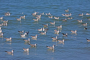 Flock of Grey-headed gulls (Chroicocephalus cirrocephalus) on water, The Gambia, December  -  Mike Wilkes