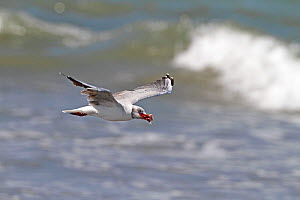 Grey-headed gull (Chroicocephalus cirrocephalus) in flight over water, with food in beak, The Gambia, December  -  Mike Wilkes