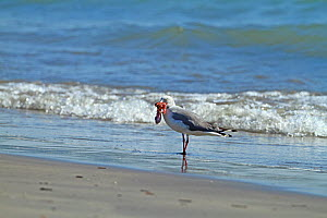 Grey-headed gull (Chroicocephalus cirrocephalus) standing on shore with food in beak, The Gambia, December  -  Mike Wilkes