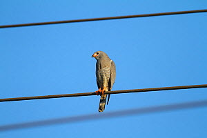 Lizard buzzard (Kaupifalco monogrammicus) perched on overhead electric cable, The Gambia, December - Mike Wilkes