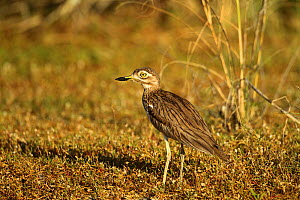 Spotted thick-knee / Cape dikkop (Burhinus capensis) on ground, The Gambia, December - Mike Wilkes