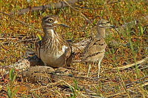 Spotted thick-knee / Cape dikkop (Burhinus capensis) at ground nest with chicks, The Gambia, December - Mike Wilkes
