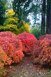 Group of Japanese maple trees (Acer palmatum dissectum) showing autumn colour, Old Arboretum, Westonbirt Arboretum, Gloucestershire, UK, October  -  Rob Cousins