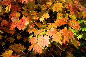 Maple (Acer sp) leaves in autumn, Westonbirt Arboretum, Gloucestershire, UK, October  -  Rob Cousins