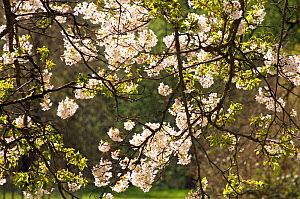 Yoshino Cherry (Prunus x yedoensis) blossom, Westonbirt Arboretum, Gloucestershire, UK, April  -  Rob Cousins