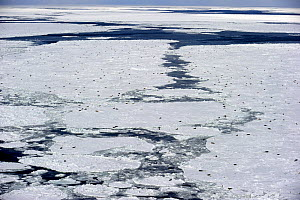 Aerial view of Harp seals (Phoca groenlandicus) hauled out on sea ice, Magdalen Islands, Gulf of St Lawrence, Quebec, Canada, March 2012  -  Eric Baccega