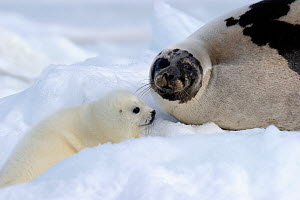 Female Harp seal (Phoca groenlandicus) with pup, Magdalen Islands, Gulf of St Lawrence, Quebec, Canada, March 2012  -  Eric Baccega