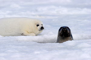 Female Harp seal (Phoca groenlandicus) with head poking through a breathing hole and  pup, Magdalen Islands, Gulf of St Lawrence, Quebec, Canada, March 2012  -  Eric Baccega