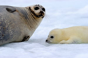 Female Harp seal (Phoca groenlandicus) with young yellowcoat pup, Magdalen Islands, Gulf of St Lawrence, Quebec, Canada, March 2012  -  Eric Baccega