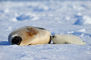 Female Harp seal (Phoca groenlandicus) with suckling pup, Magdalen Islands, Gulf of St Lawrence, Quebec, Canada, March 2012  -  Eric Baccega