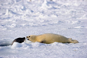 Female Harp seal (Phoca groenlandicus) surfacing at breathing hole looks at her pup, Magdalen Islands, Gulf of St Lawrence, Quebec, Canada, March 2012  -  Eric Baccega