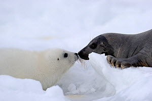 Female Harp seal (Phoca groenlandicus) touching noses with her pup, Magdalen Islands, Gulf of St Lawrence, Quebec, Canada, March 2012 - Eric Baccega