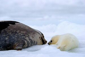 Female Harp seal (Phoca groenlandicus) looking at her pup, Magdalen Islands, Gulf of St Lawrence, Quebec, Canada, March 2012 - Eric Baccega