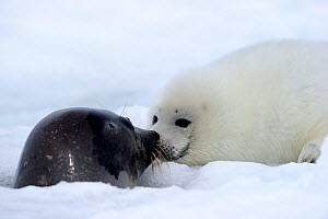 Female Harp seal (Phoca groenlandicus) surfacing at breathing hole and touching noses with her pup, Magdalen Islands, Gulf of St Lawrence, Quebec, Canada, March 2012  -  Eric Baccega
