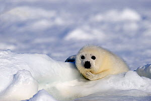Portrait of Harp seal (Phoca groenlandicus) pup on sea ice, Magdalen Islands, Gulf of St Lawrence, Quebec, Canada, March 2012 - Eric Baccega