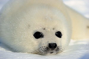 Portrait of Harp seal (Phoca groenlandicus) pup, Magdalen Islands, Gulf of St Lawrence, Quebec, Canada, March 2012 - Eric Baccega