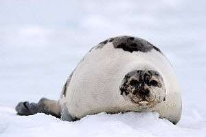 Female Harp seal (Phoca groenlandicus) on sea ice, Magdalen Islands, Gulf of St Lawrence, Quebec, Canada, March 2012 - Eric Baccega