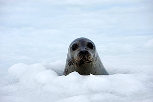 Portrait of a female Harp seal (Phoca groenlandicus) at a breathing hole in the sea ice, Magdalen Islands, Gulf of St Lawrence, Quebec, Canada, March 2012  -  Eric Baccega