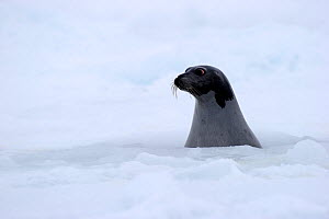 Profile of a female Harp seal (Phoca groenlandicus) surfacing at breathing hole in the sea ice, Magdalen Islands, Gulf of St Lawrence, Quebec, Canada, March 2012 - Eric Baccega